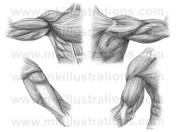 arm musculature